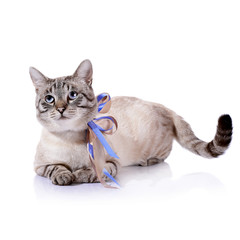 Striped blue-eyed cat with a tapes.