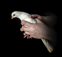 hands holding a white pigeon