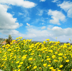 yellow flowers under a blue sky