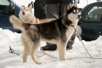 Two sled dogs waiting for the race