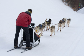 A group of sled dogs running