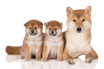 shiba inu dog with her puppies