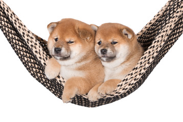 two adorable red puppies in a hammock