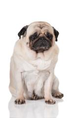 very sad pug dog