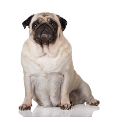 old pug dog sitting on white