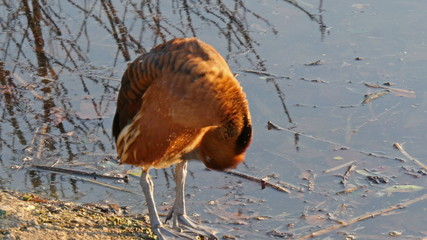 A big orange Eurasian coot bending his head