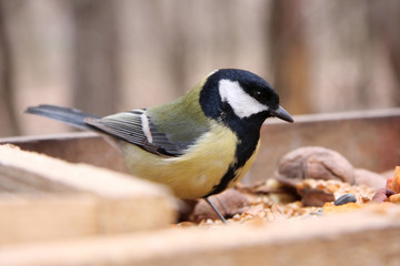 Great tit in birdfeeder