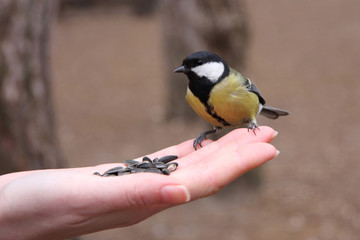 Feeding of great tit