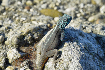 Blue-headed agama lizard