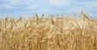 Leinwanddruck Bild - Golden Wheat Field with ripe ears of corn