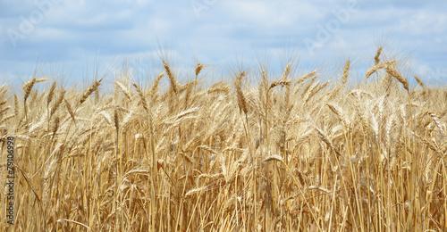 Leinwanddruck Bild Golden Wheat Field with ripe ears of corn