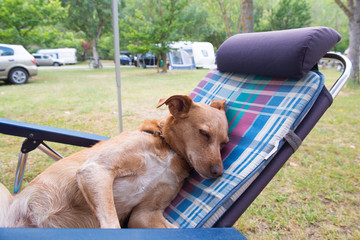 Dog at the camping