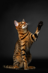 bengal cat sits and raising up paw