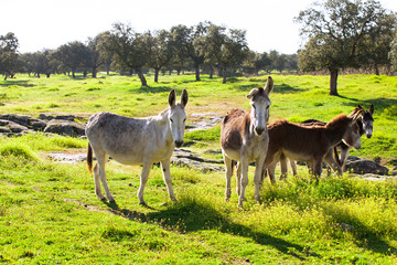 Group of donkeys at the field