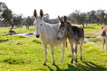 Two donkeys at the countryside