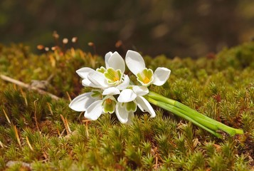 Bouquet of snowdrops in forest