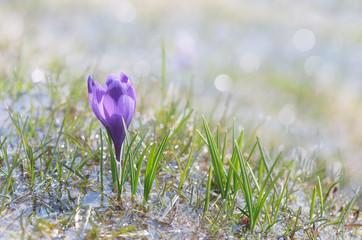 Blooming crocus in water