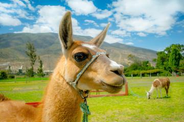 closeup portrait of cute llama