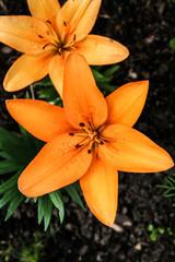 Wunderschöne gelbe Lilie