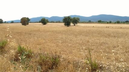 Campaign after threshing - Maremma