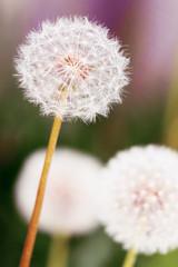 Dandelions. Spring flowers