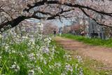 春の散歩道 - 79118719