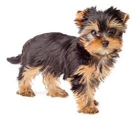 Yorkshire Terrier puppy isolated