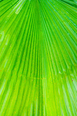 The green leaf of Pritchardia pacifica plant
