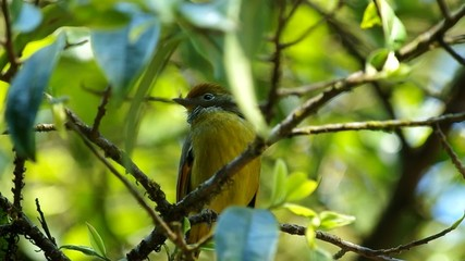 Chestnut-tailed minla moving on the tree branch