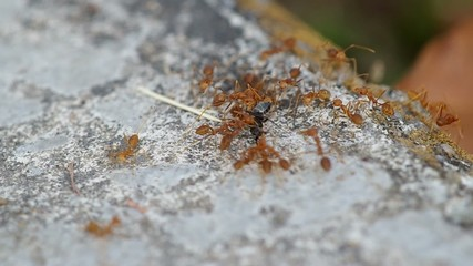 weaver ants are hunting and carrying a black ant