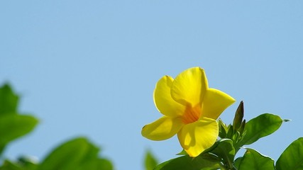 Footage of golden trumpet flower is shaking with the wind