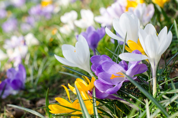 Hallo Frühling: Bunte Krokuswiese :)