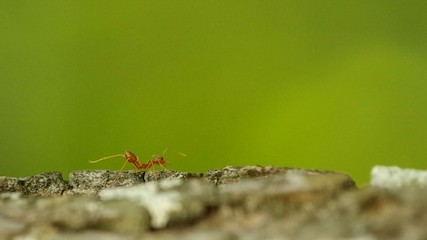 Footage of Weaver ant moving its foot and walking away