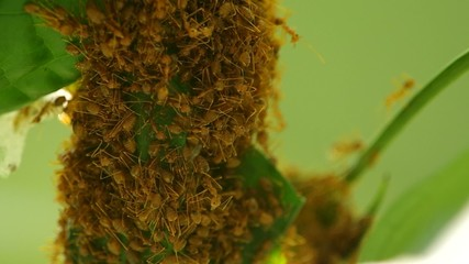 weaver ants are grouping and building their hive with tree leafs