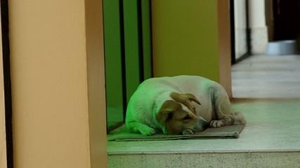 Thai dog prepare to sleep in the evening
