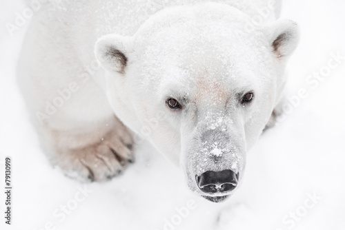 Tuinposter Ijsbeer Young Polar Bear playing in snow