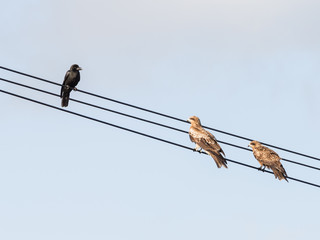 crows and two hawks