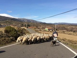 rebaño de ovejas invadiendo la carretera