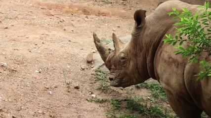 African Rhino (Rhinoceros)