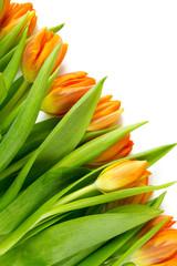 orange tulips isolated on white background