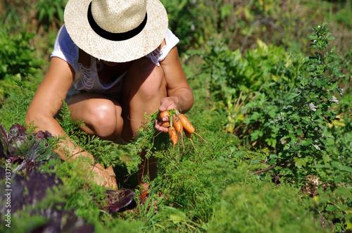 jardinage - récolte de carottes - 79137156