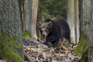 brown bear cub walking