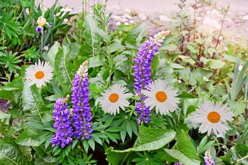 Summer landscape. lupine flowers. daisy