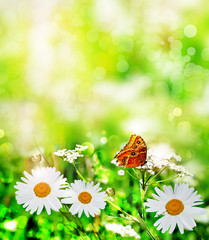 Wildflowers daisies. butterfly