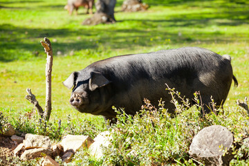 Iberian pig at the field