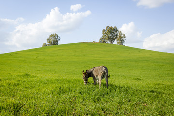 Asno español pastando en el campo