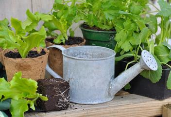 arrosoir parmi plants de salade