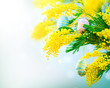 Easter holiday mimosa flowers decorated with colorful eggs