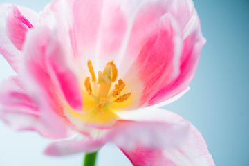 Beautiful spring flower closeup. Beauty macro tulip art design