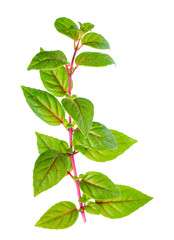 green branch of fuchsia with red veins with dew is isolated on w